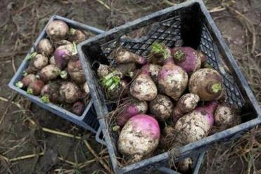 Freshly harvested turnips on Everett Hatch's farm.